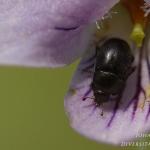 Familia Nitidulidae - Glanskevers
