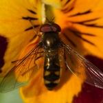 Meliscaeva auricollis - Variabel Elfje
