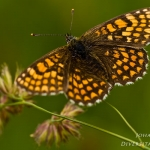 Melitaea athalia - Bosparelmoervlinder
