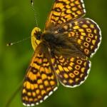 Melitaea cinxia - Veldparelmoervlinder