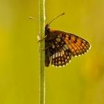 Melitaea varia - Alpenparelmoervlinder