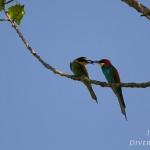 Ordo Coraciiformes - Scharrelaarvogels