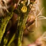 Metellina segmentata - Herfstspin