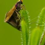 Micropterix aruncella - Vroege oermot
