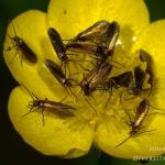 Familia Micropterigidae - Oermotten