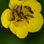 Micropterix calthella - Dotterbloemoermot
