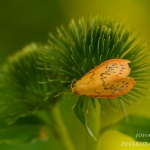 Miltochrista miniata - Rozenblaadje