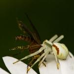 Misumena vatia - Gewone Kameleonspin