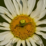 Ebrechtella tricuspidata - Struikkameleonspin
