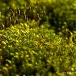 Mnium hornum - Gewoon sterrenmos
