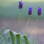 Muscari latifolium - Brede druifhyacint