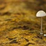 Mycena adscendens - Suikermycena