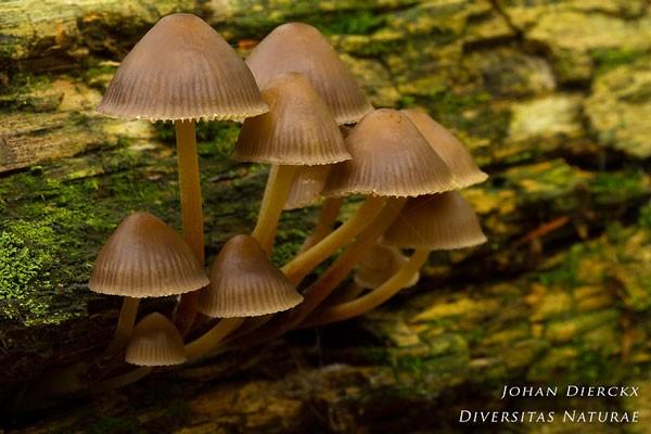 Mycena inclinata - Fraaisteelmycena