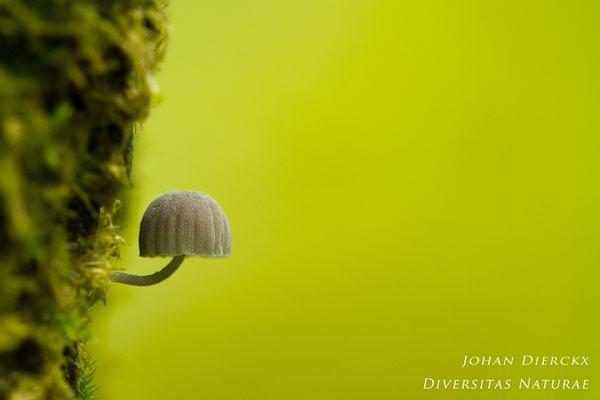 Mycena pseudocorticola - Blauwgrijze schorsmycena