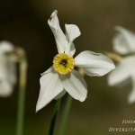 Narcissus poeticus - Witte narcis