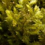 Neckera crispa - Groot kringmos