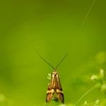 Nemophora degeerella - Geelbandlangsprietmot