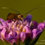 Nemophora metallica - Gouden langsprietmot