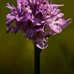 Neotinea tridentata - Drietandige orchis