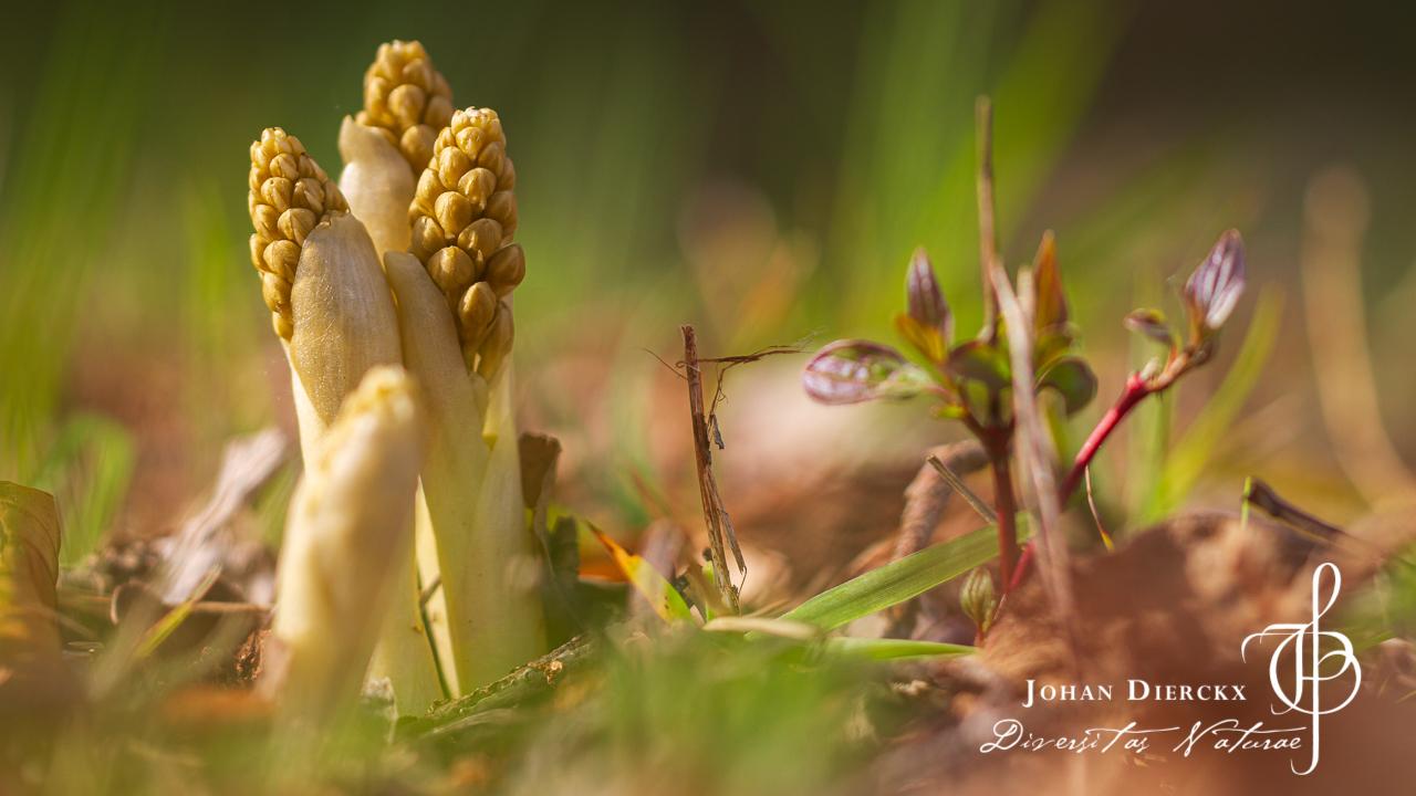 Neottia nidus-avis - Vogelnestje