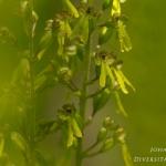 Neottia ovata - Grote keverorchis
