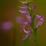 Neottianthe cucullata - Kapjesorchis