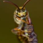 Nomada leucophthalma - Vroege Wespbij