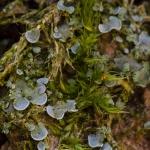 Familia Verrucariaceae