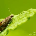Notocelia uddmanniana - Bramenbladroller