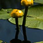 Nuphar lutea - Gele plomp