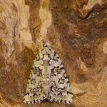 Nyctobrya muralis - Groene korstmosuil