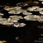 Nymphaea alba - Witte waterlelie