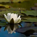 Familia Nymphaeaceae - Waterleliefamilie