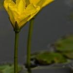 Familia Menyanthaceae - Watergentiaanfamilie