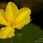 Nymphoides peltata - Watergentiaan