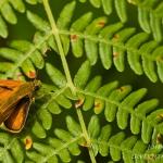 Ochlodes sylvanus - Groot dikkopje