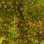 Octospora coccinea - Knikmosschijfje
