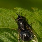 Odontomyia tigrina - Zwarte moeraswapenvlieg