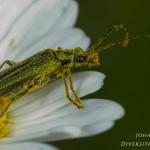 Oedemera nobilis - Fraaie Schijnbok