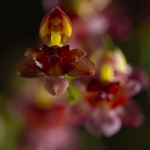 Oncidium 'Tiny Twinkle'