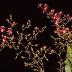 Oncidium 'Tiny Twinkle'
