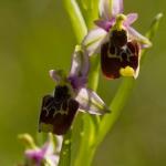 Ophrys annae