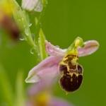 Ophrys apifera var. badensis