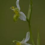 Ophrys apifera var. basiliensis