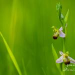 Ophrys apifera var. bicolor