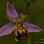 Ophrys apifera var. aurita