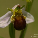 Ophrys apifera var. atrofusca