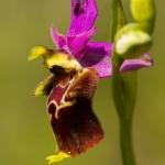 Ophrys apulica