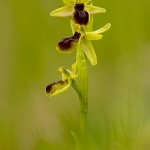 Ophrys araneola - Vroege spinnenorchis
