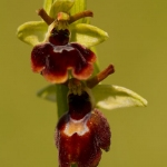 Ophrys araneola x Ophrys insectifera